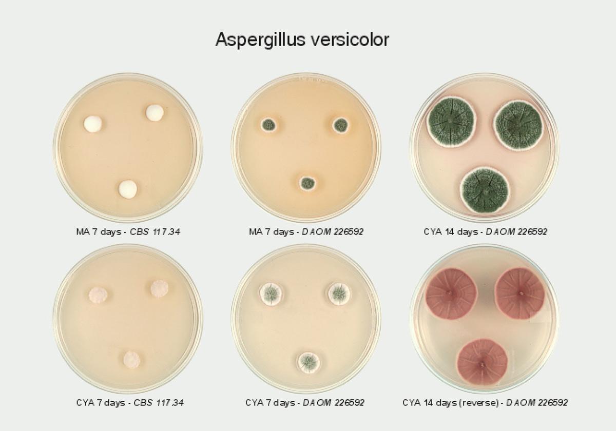 Aspergillus Versicolor - Identificación de hongos